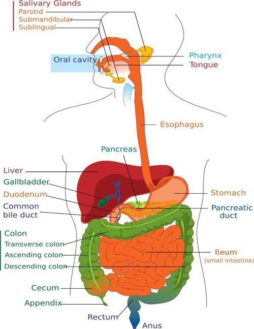 digestion-diagram